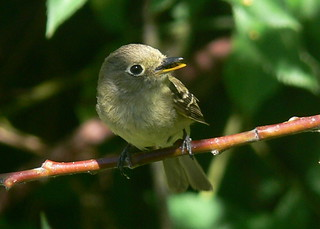 Pacific Slope Flycatcher - Empidonax difficilis | by goingslo