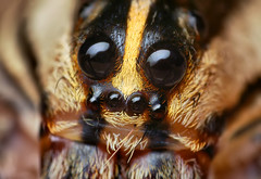 Eyes of a Female Rabid Wolf Spider (Rabidosa rabida) | by Thomas Shahan
