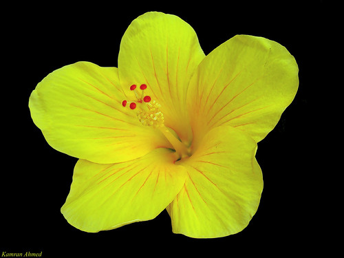 Yellow Hibiscus (Hibiscus rosa-sinensis)  11900 Views | by Photo Plus 1 (Kamran Ahmed)