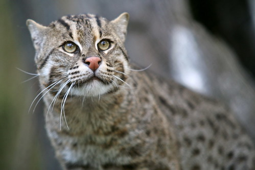 Fishing Cat (Prionailurus viverrinus) | by cliff1066™