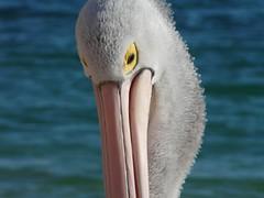 Pelican 3 by DrCamfi