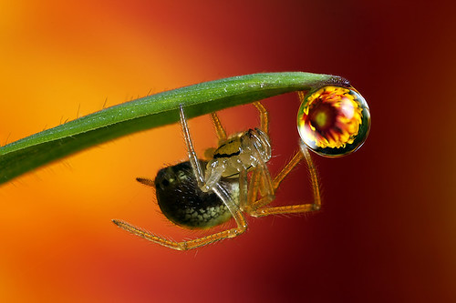 Flower dewdrop refraction #4 with spider | by Lord V