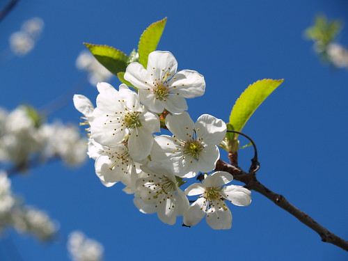 Blue Sky & Blossoms | by farlane