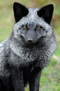 young silver fox | by matt knoth