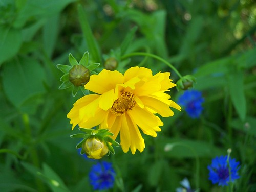 "Coreopsis | by ~Chuckles~! "" Intermittently Flickrin """