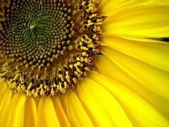 Sunflower by thiyz.