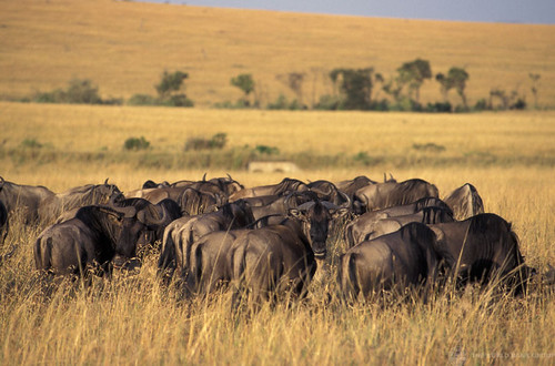 Wildebeast | by World Bank Photo Collection