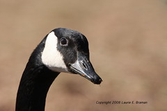 Canada Goose Really Close Up Excellent Head Angle IMG_7506DMPLogo by lauriebraman