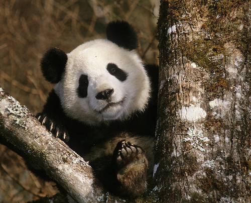 25016913-giant_panda | by mlp55