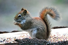 a red squirrel..(noun) A North American squirrel having reddish or tawney fur. | by mimicapecod