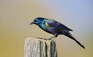 Common Grackle | by J Gilbert