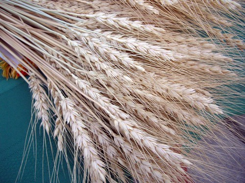 Wheat | by swampkitty