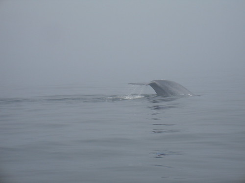 Blue Whale Tail | by cybele-