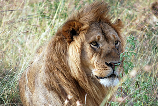 A dominant male lion | by Chadica