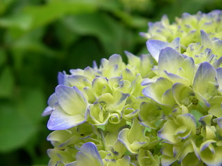 Hydrangea | by Blue Lotus