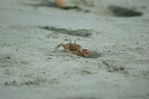 Crab, emerging from it's burrow | by tim ellis