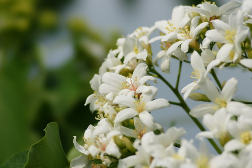 Tung-Oil-Tree's flowers | by ddsnet