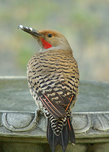 Male Northern Flicker | by bison_bill_c