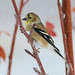 American Goldfinch2