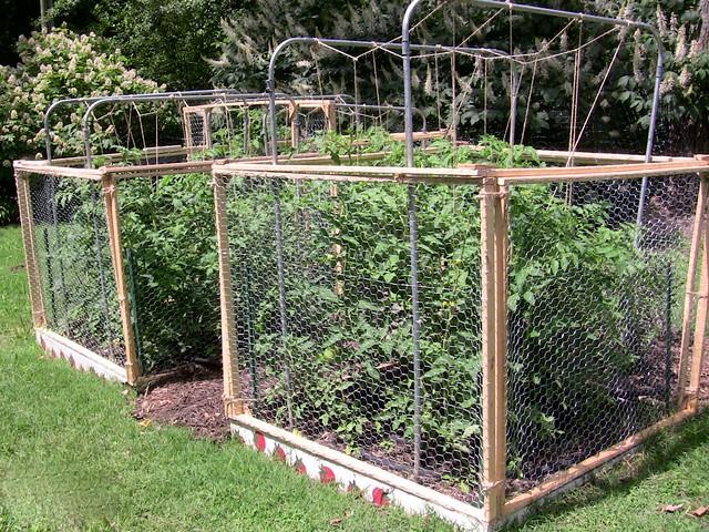 Square Foot Garden Tomato