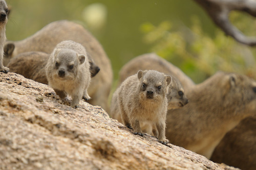 Rock Hyrax | by somnambience