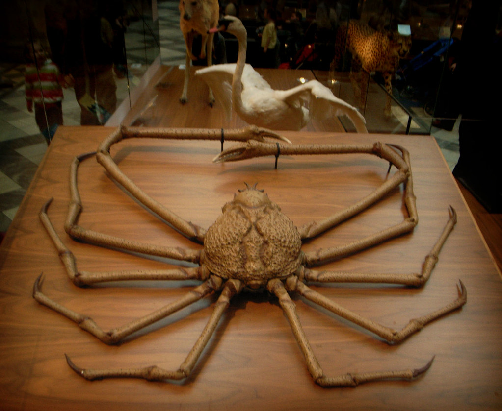 Japanese Spider Crab Eating a Person Japanese Spide Spider Crab