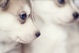 Husky pups | by bhawi