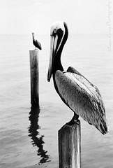 Pelican by Mason Gray