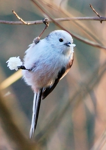 Long-tailed Tit | by skatepunk
