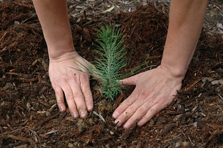Seedling Planting | by USFS Region 5