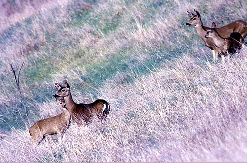 1deer | by Contra Costa Times