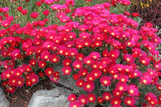 Lampranthus species 'Cherry Bomb' | by anniesannuals