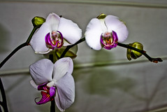 Orchid -1- by ibzsierra junior