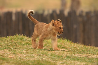 Lions & Lion Cubs | by fortherock