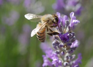 Honeybee on lavender by Ryan Wick, on flickr