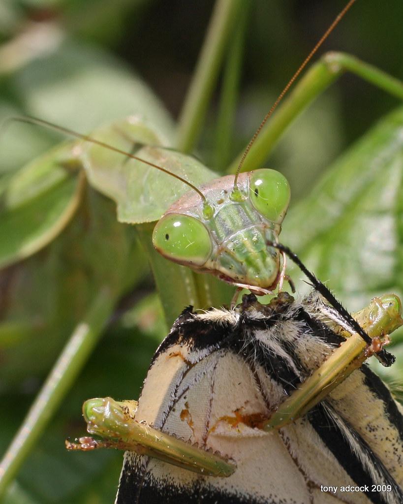 Praying Mantis Eating Spider Praying Mantis Eats a
