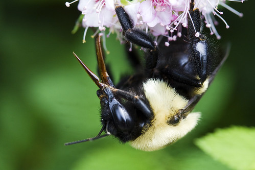 Bombus_0054 | by HVargas