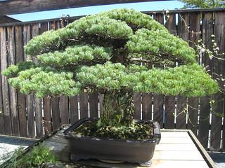 400 year old bonsai