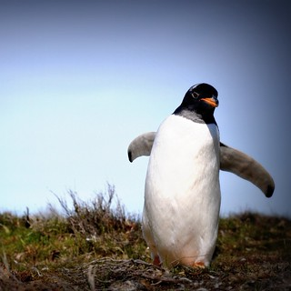 wild gentoo penguin, Falkland Islands | by Dene' Miles