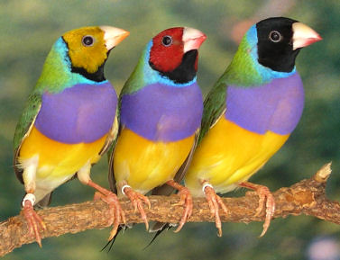 SarahPrykeThree head forms of the Gouldian finch | by GrrlScientist