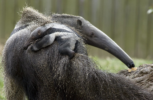 National Zoo's Baby Giant Anteater: It's a boy! | by Smithsonian's National Zoo