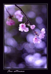 Sakura | by fine_settimana (On & off... )