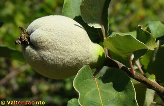 Marmelo // Quince (Cydonia oblonga) | by Valter Jacinto | Portugal