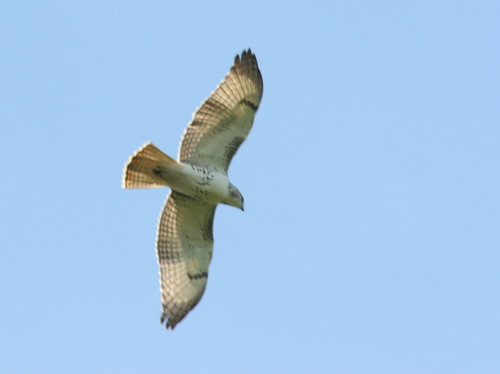 Broad-winged or Red-tailed Hawk? 20090819