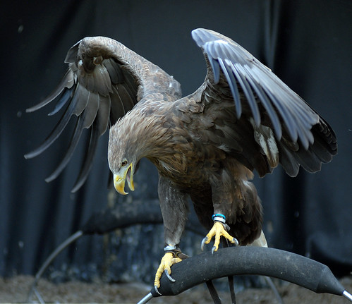 White Tailed Sea Eagle | by Steve Wilson - over 8 million views Thanks !!