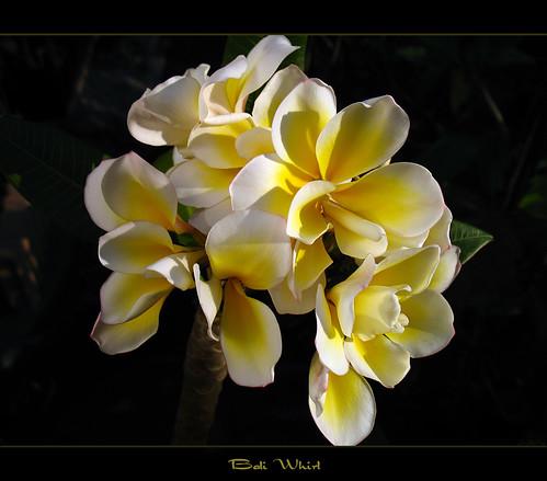 Rare Flowers - The Plumeria Bali Whirl