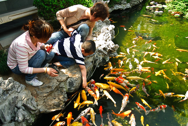 Feeding koi fish at the temple's pond
