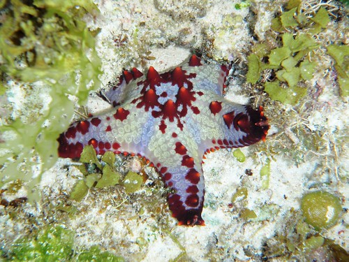 Red Speckled Starfish 200309