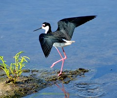 Black-Necked Stilt: you think you can dance? by shotup