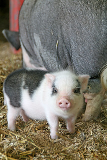 Sweet baby piglet | by susyr22
